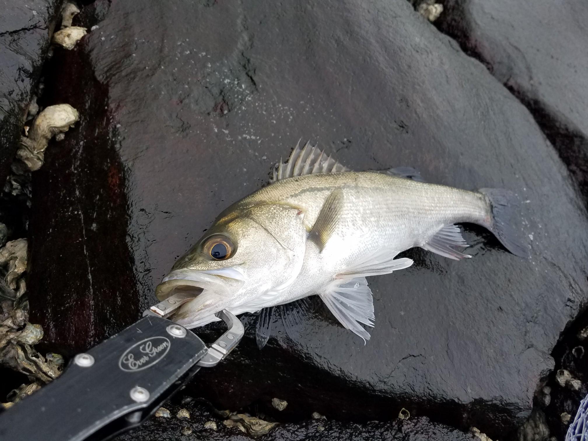 シーバス釣り フィッシュグリップ