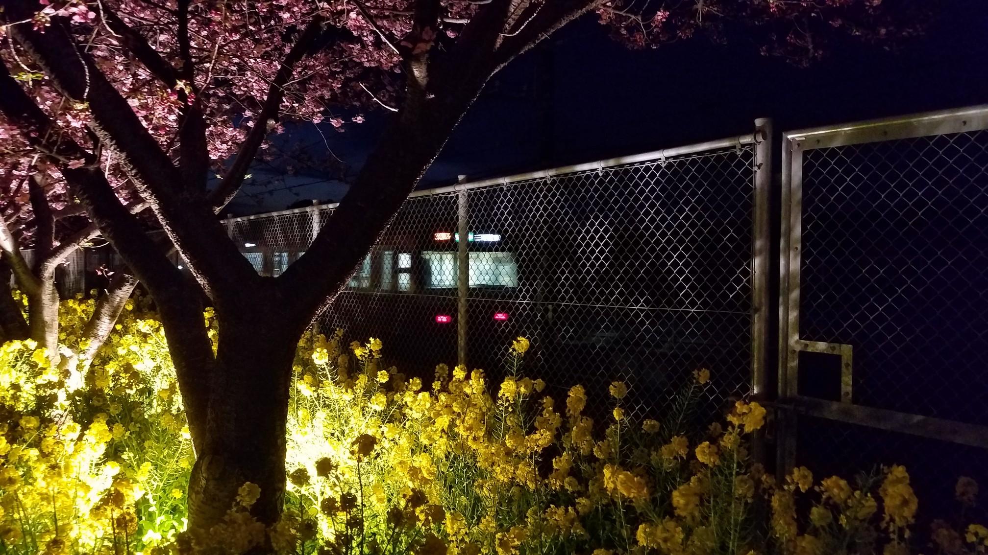 三浦半島 河津桜 ライトアップ