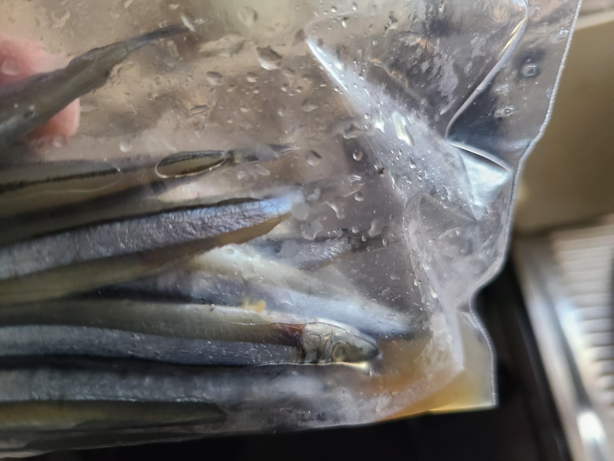 太刀魚の餌 キビナゴ