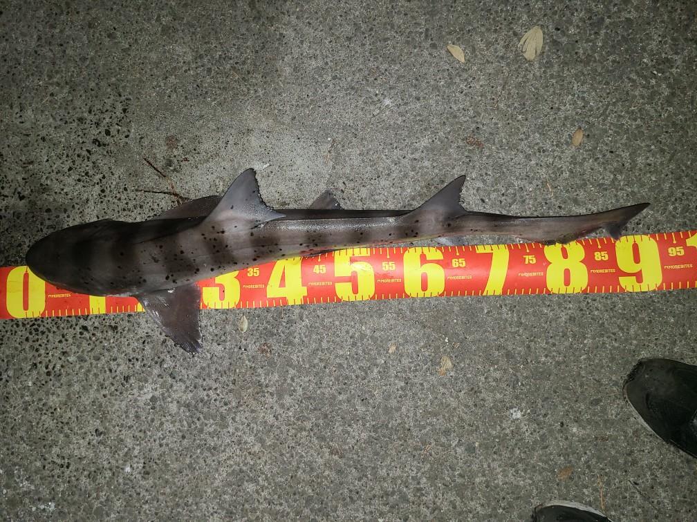 ちょい投げ釣り ドチザメ