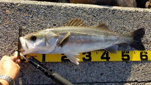 旧江戸川 シーバス釣り