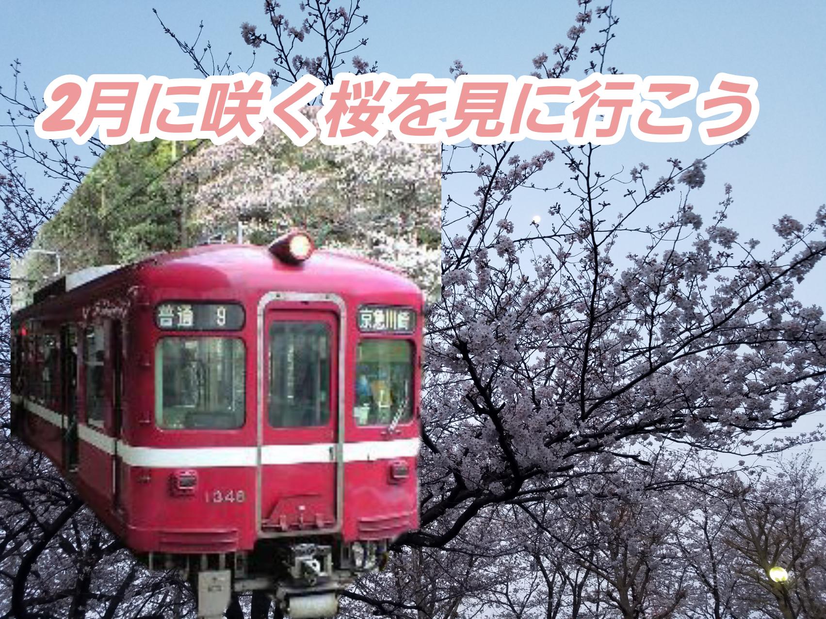 三浦半島 河津桜 観光スポット