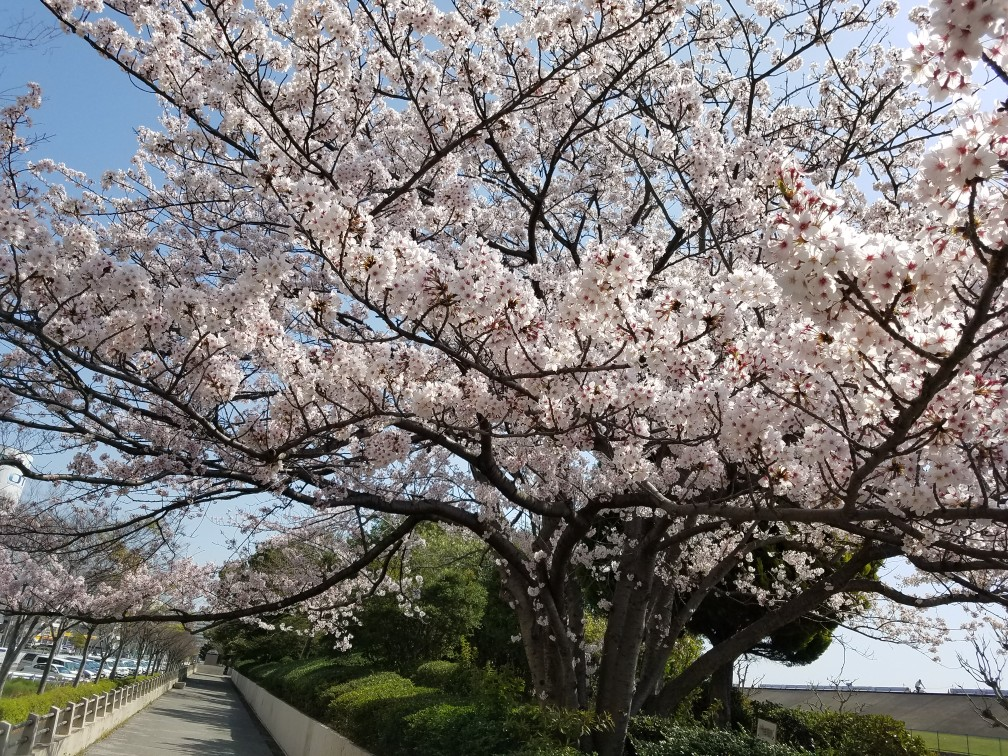 旧江戸川桜