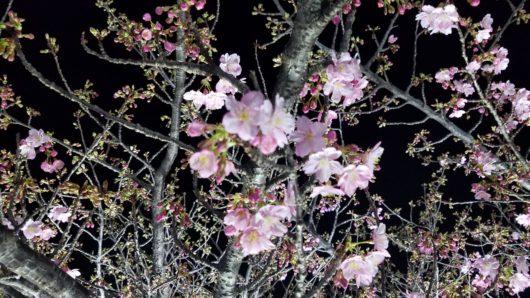 三浦半島 観光 f河津桜2月